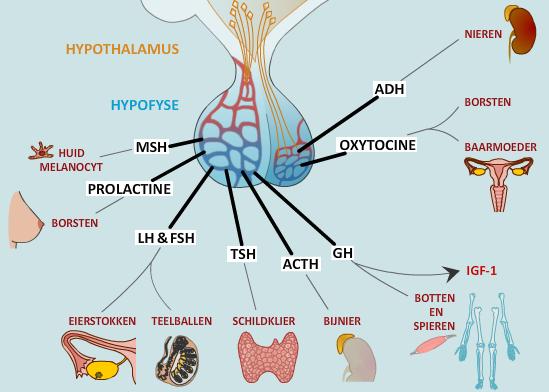 wat is oestrogeen