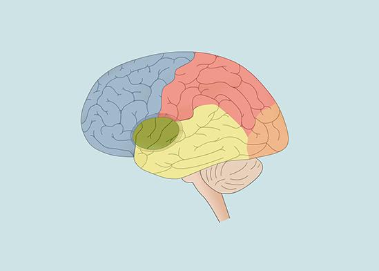 Opbouw En Functie Hersenen Medische Informatie